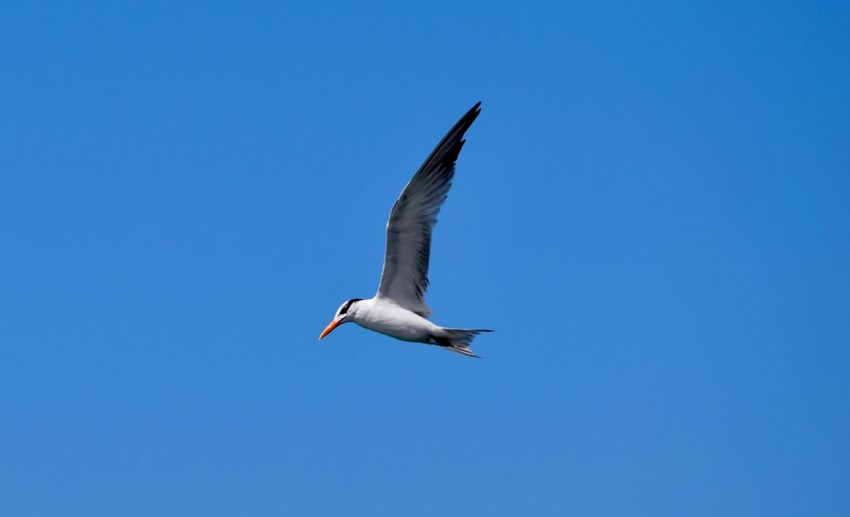 Low angle view of seagull flying in sky