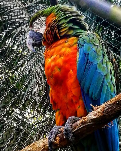 Lapa en Costa Rica Lapa Parrot Macaw One Animal Animal Wildlife Multi Colored Nature