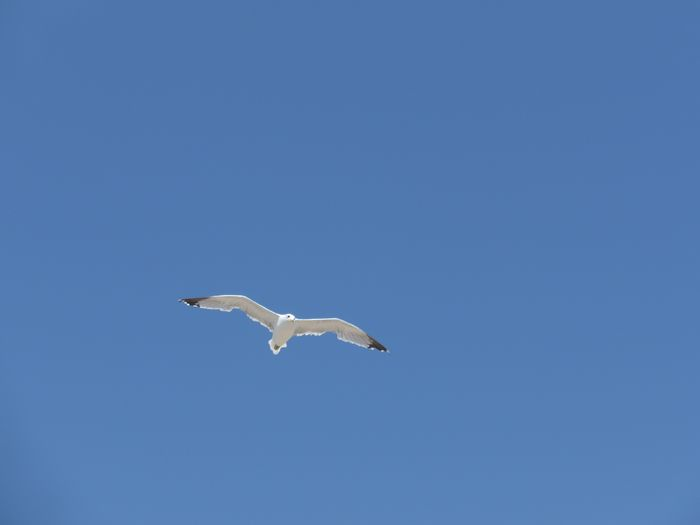 Flying Animal Themes Animal Wildlife Animal Animals In The Wild Vertebrate One Animal Bird Blue Spread Wings Sky Low Angle View No People Clear Sky Mid-air Nature Day Beauty In Nature Seagull