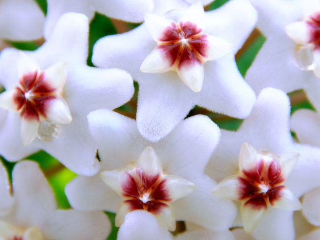 Flower Macro Nature Wax Flower White White Flower Close-up No People