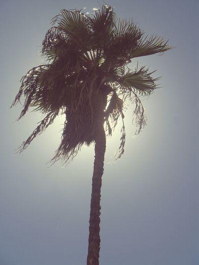 Palm Tree Low