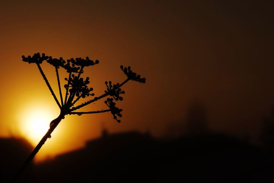 Sunnydale Sunset Silhouette Nature Beauty In Nature Tree Low Angle View No People Flower Head Outdoors Growth Sky Scenics Flower Branch Close-up Day