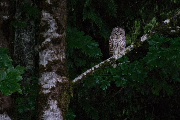 Birds_n_branches Birds Of EyeEm  Birds Of Prey Predator Bird Bird Owl Barred Owl Plant Tree No People Green Color Nature