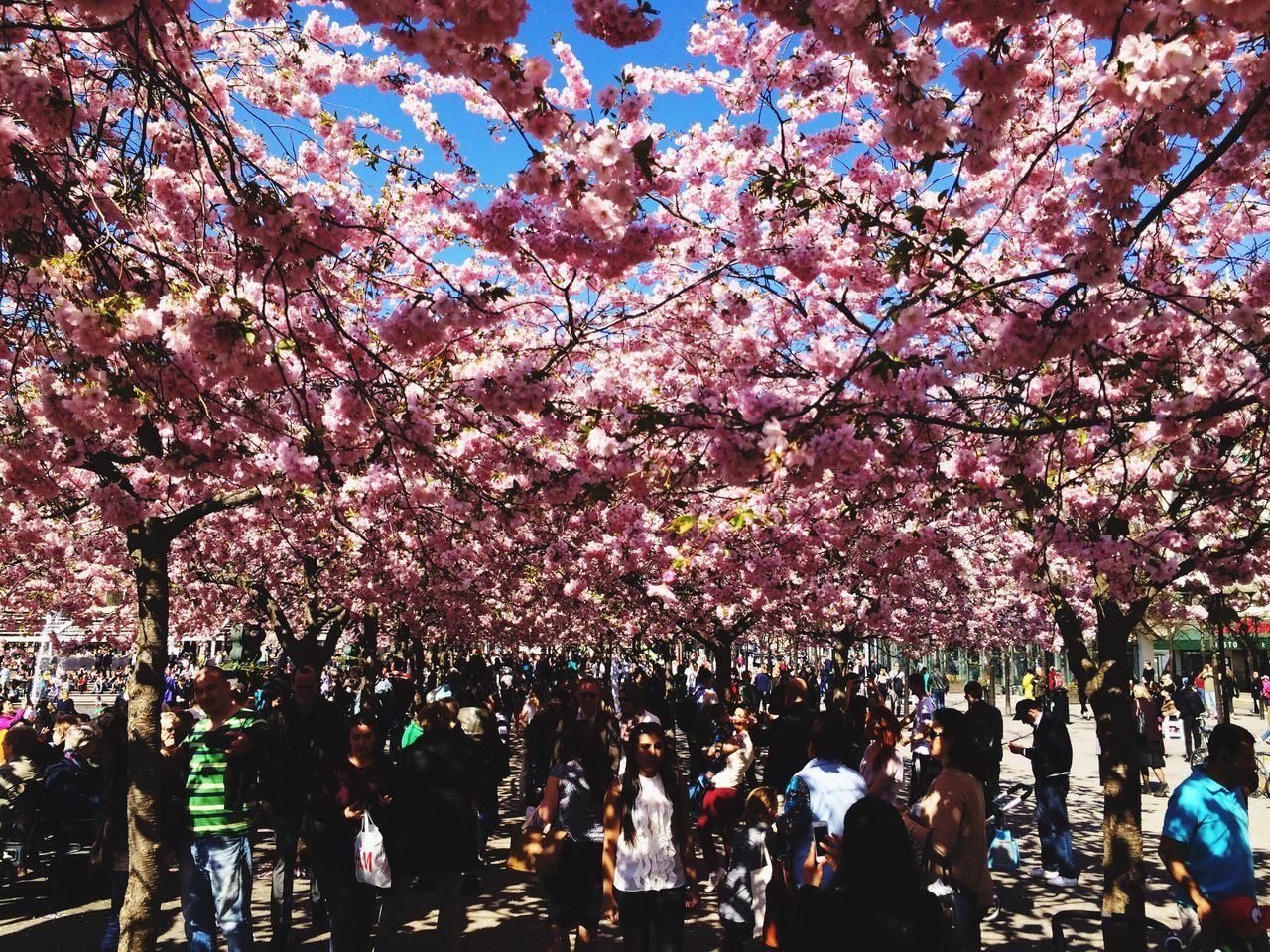 People walking under cherry blossom trees