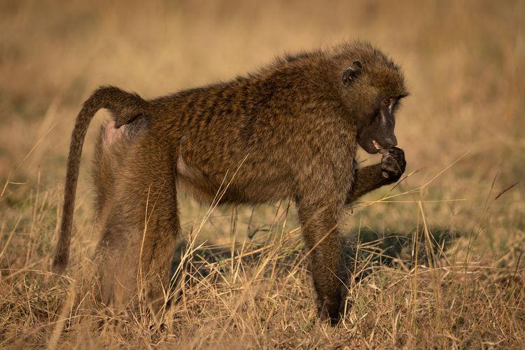 Side view of a monkey on field