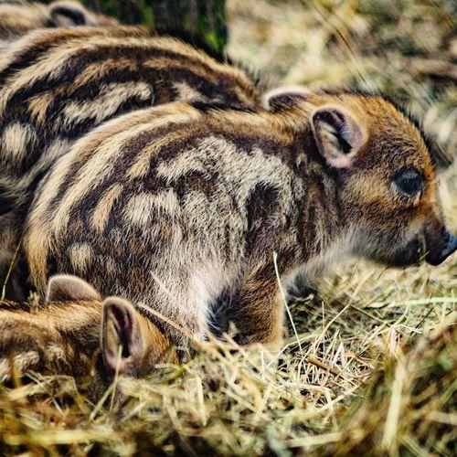 siblings Boar Wild Boar Piglet Piglets Wildschwein Wildschweine Wildschweinbaby Frischlinge Frischling Wildpark