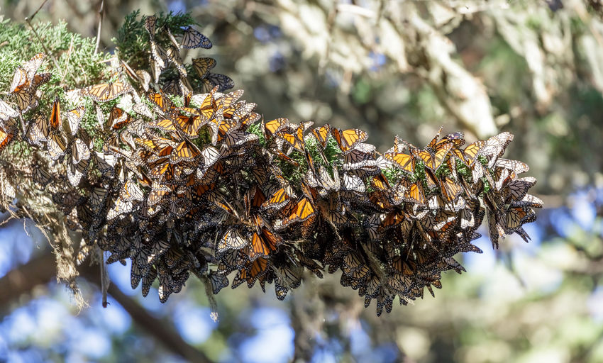 Cluster of Monarch Butterflies keeping warm during winter migration. Monarch Grove Sanctuary, Pacific Grove, Monterey County, California, USA. Plant Close-up No People Nature Focus On Foreground Beauty In Nature Selective Focus Animal Wildlife Insect Animals In The Wild Tree Outdoors Growth Group Of Animals Animal Themes Animal Branch Large Group Of Animals Monarch Butterfly Cluster Pacific Grove, Ca California Migrating Monarch Grove Sanctuary Danaus Plexippus