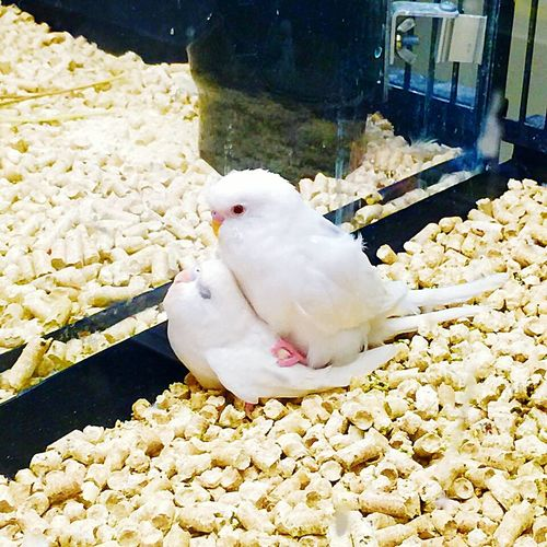 Hey, look, it's two adorable litt.... Oh, damn! I wow, I apologize for Intruding. BUT, you do realize you are in a clear glass case at eye level, in a petshop?.... Right?.... No? Rock on little budgies. Rock on. Parakeets Budgies Birds Pet Shop  Sexytime Rock On