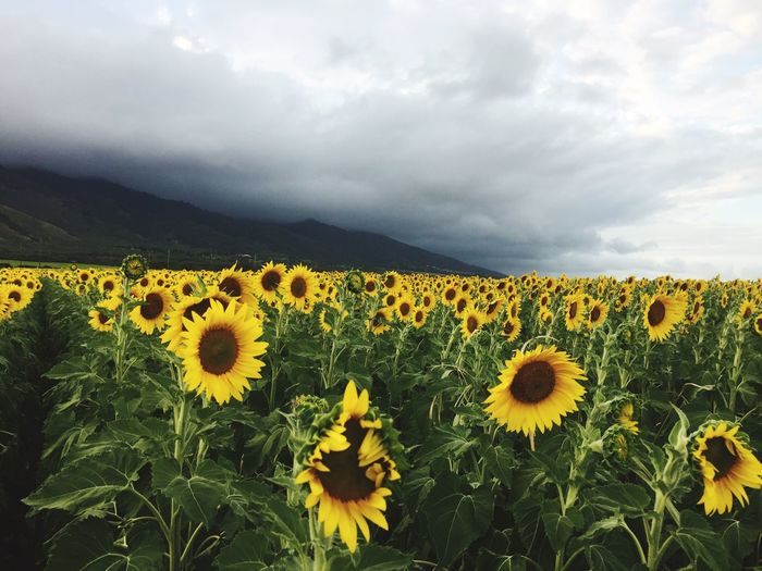 Sunflowers Blooming On Field Against Cloudy Sky