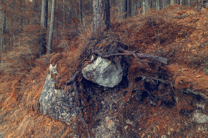 autumn in the forest Tree Forest Land Plant Tree Trunk Nature Trunk No People Day WoodLand Rock Close-up Tranquility Plant Part Rock - Object Outdoors Wood - Material Beauty In Nature Wood Rough Bark Dead Plant