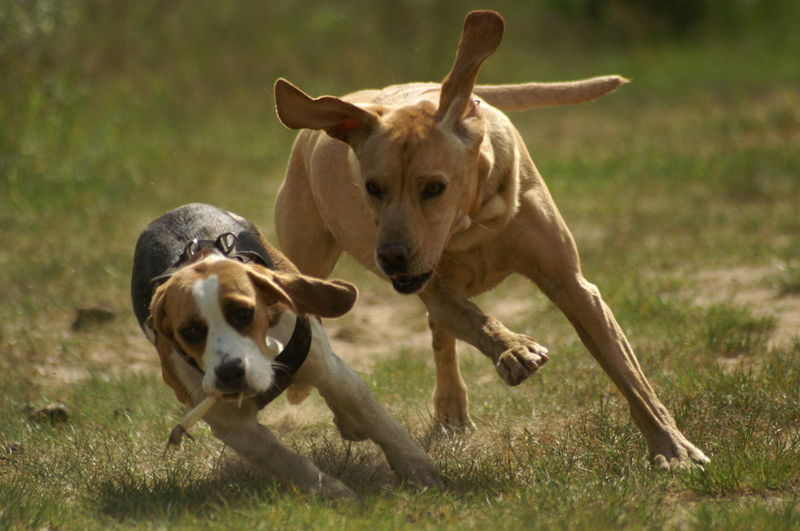Two dogs playing on grassy field