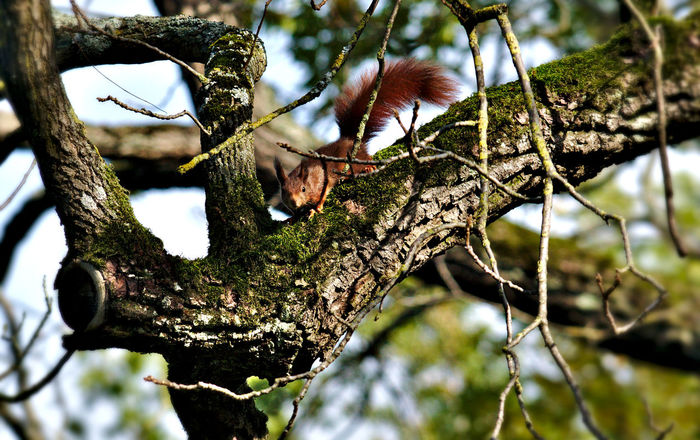 Seek and Hide Animals In The Wild Bushy Tail EyeEm Nature Lover Nikon Observation Red Squirrel Winter Is Coming Animal On Tree Animal Wildlife Beauty In Nature Branch Climbing Eye Eyes Watching You Moss Nature Nosiness One Animal Outdoors Sky Fu Tree Squirrel Posing