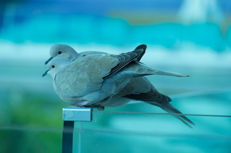 Dove couple Love Honeymooning Bird Perching Animal Themes Animals In The Wild Animal Wildlife One Animal Focus On Foreground No People Close-up Day Blue Outdoors Nature Mourning Dove EyeEmNewHere