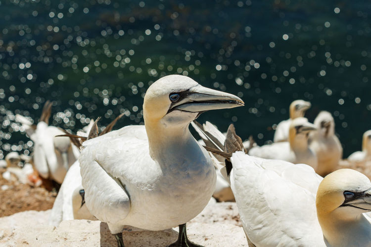 Close-up of gannets by sea