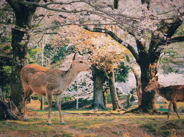 Wonderland EyeEm Nature Lover EyeEm EyEmNewHere Japan Deers Deer Animal Mammal Animal Themes Vertebrate Domestic Animals Animal Wildlife Group Of Animals Nature Two Animals