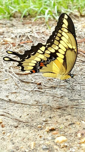 Animals In The Wild Animal Themes Insect One Animal No People Nature Butterfly - Insect Day Sea Life Outdoors Close-up Yellow And Black Butterfly Wings Flying Insects Thirsty  Butterfly Drinking Drinking Water Raindrops Ground Beauty In Nature Beautiful Beautiful Butterfly Eating Animal Eating Good Insect