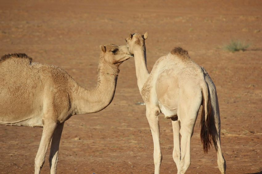 Desert kiss_Camels in love Animals In The Wild Desert Life Kiss Love Oman Wahiba Sands Wildlife & Nature Animal Themes Animal Wildlife Animals In Love Camel Camels Day Desert Animal Dromedary In Love Mammal Nature No People Outdoors Togetherness Two Animals
