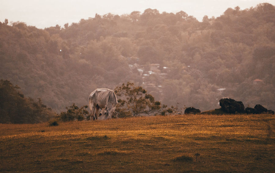 Vhaca. Cow. Baka Sony A6000 Cow Tree Agriculture Animal Animal Wildlife Animals In The Wild Nature Landscape Outdoors No People Day Animal Themes