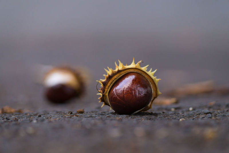 Close-up of chestnut on field