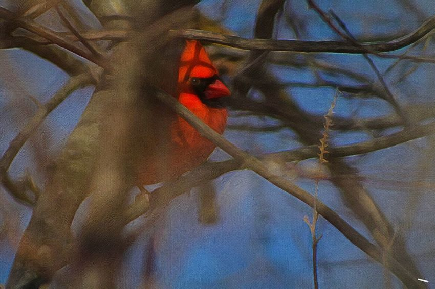 Beauty In Nature Animals In The Wild Cardinal No People More Birds Perching Outdoors Day Cold Temperature Paint Edit