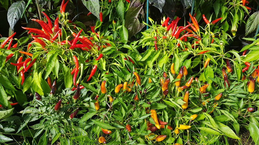chili Growth Green Color Plant Freshness No People Plant Part Beauty In Nature Nature Leaf Day Close-up Food Flower Food And Drink Red Flowering Plant Full Frame Chili Pepper Vegetable High Angle View