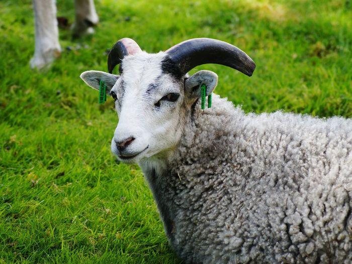 Portrait of sheep on grassy field
