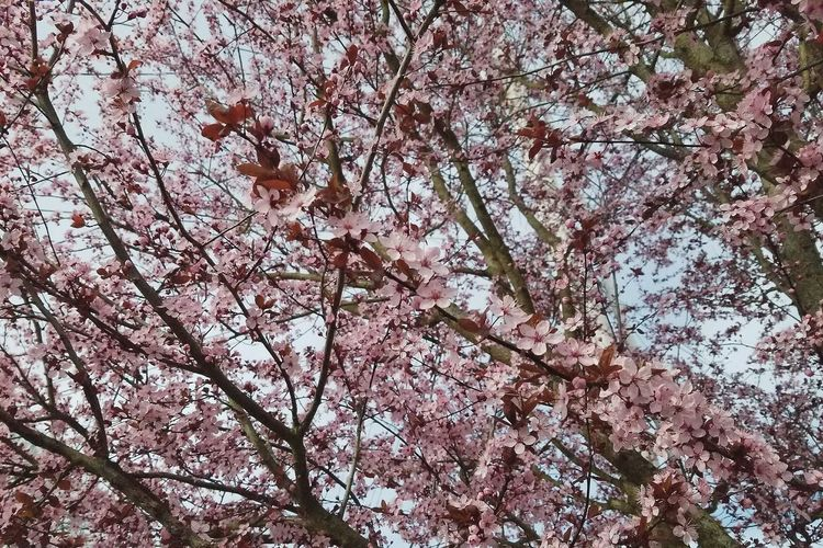 Tree Nature No People Branch Growth Low Angle View Beauty In Nature Full Frame Outdoors Day Backgrounds Close-up Sky Pink Color Spring Spring Flowers Flowers Millennial Pink