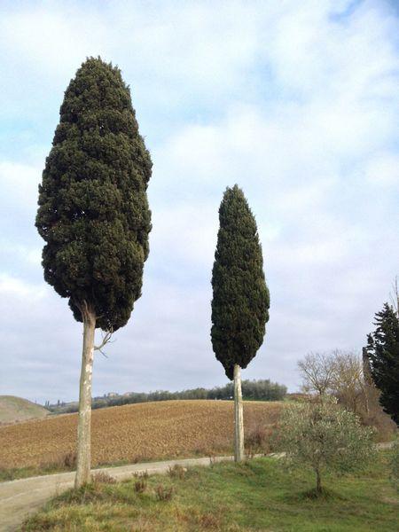 Toscana Tree Nature Landscape Cipressi