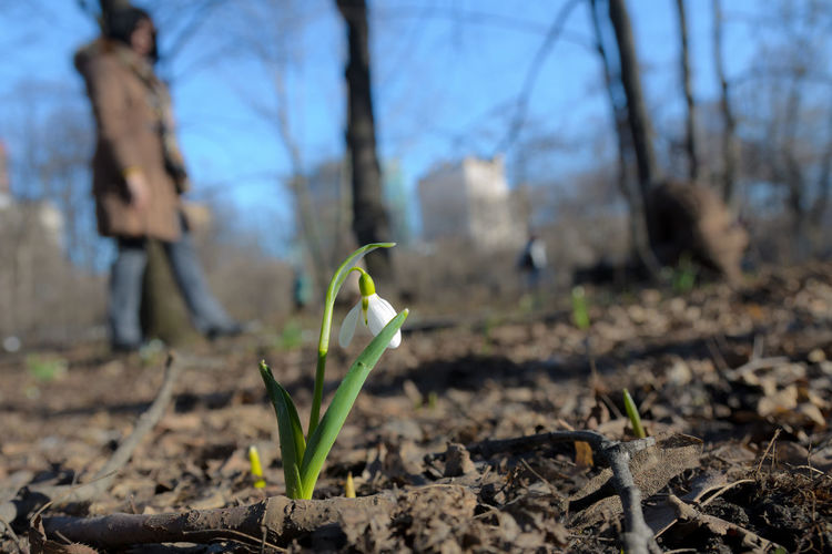 Single snowdrop flower close up on the blur background. Freshness Nature Plant Beauty In Nature Blooming Blossom Close-up Close—up Day Flower Focus On Foreground Fragility Freshness Galantus Ground Growth Nature Outdoors Park Petal Plant Snowdrop Spring Spring Flowers White