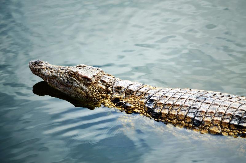 High Angle View Of Crocodile In Lake