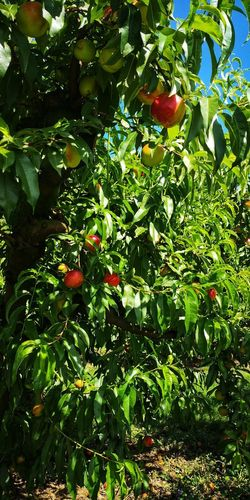 Summer freshness Summertime EyeEm Nature Lover Peaches Friut Green Color Cervia Trees Plants Red