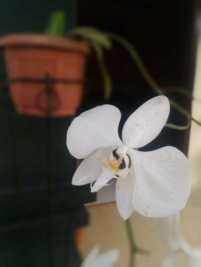 Orchid Flower No People Close-up Flower Head Nature Day Outdoors Beauty In Nature Animal Themes Orchidflower Orchidflowers White Flower Beauty In Nature Nature Agriculture White Black Leaf Plant