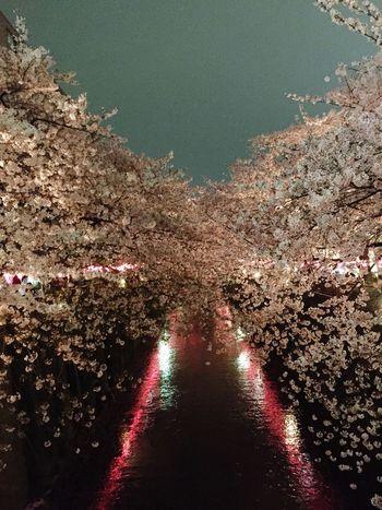 Yozakura along the Meguro. Yozakura Sakura Flowerporn Spring Meguro River
