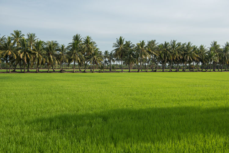 Rice field and