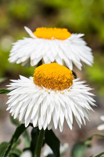 Petal Helichrysum Strawflower Everlasting Flower Flowering Plant Vulnerability  Fragility Plant Freshness Beauty In Nature Growth Flower Head White Color Close-up Focus On Foreground Yellow Nature Softness