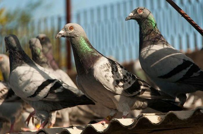 Test Nikon D90 with Pigeon Racing Bird Photography