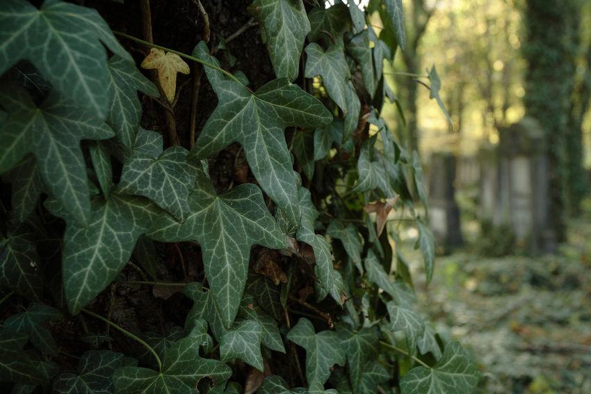 Autumn Jewish Tomb Cementery Ivy Jewish Cemetery Leaf Leaves Lodz Tombstone Łódź