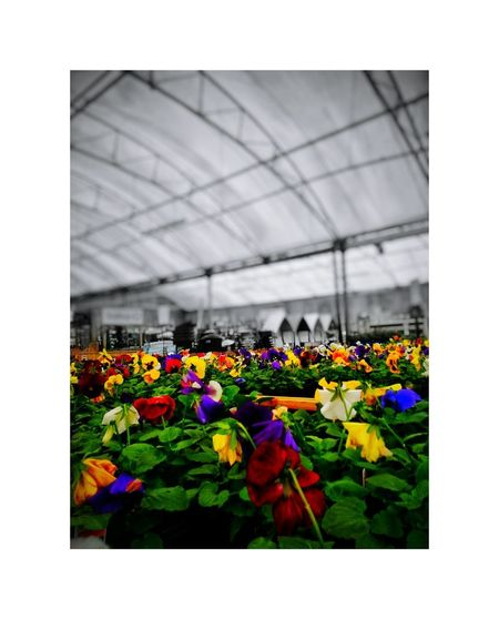 Flower Plant Growth Multi Colored Variation Nature Freshness Day No People Outdoors Beauty In Nature Flower Head Springtime Architecture Close-up Plant Nursery Greenhouse Garden Growing Plant Garden Center For Sale Retail  Comercial Growth
