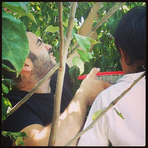 Kızılcık zamanı. Cornelian cherry harvest. K ızılcık CornusMas Cornelian Cherry Cornus Mas Cornaceae Cornales Harvest