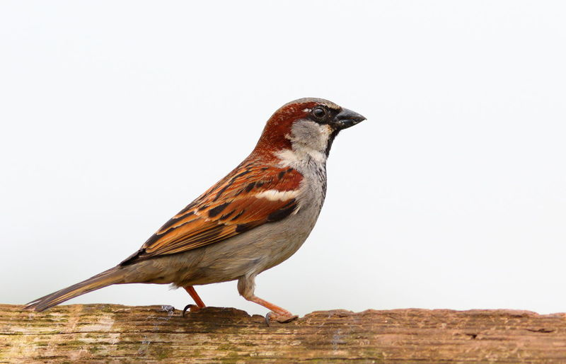 Beak Bird Photography Birds Of EyeEm  Birdwatching EyeEm Birds EyeEm Nature Lover Nature Nature Photography Animal Wildlife Beauty In Nature Bird Birds Birds_collection Close-up House Sparrow Nature Nature_collection Perching Sparrow Sparrows Wildlife