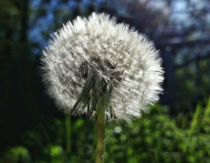 Dandelion Flower Nature Beauty In Nature Fragility Day Outdoors Plant No People Close-up Focus On Foreground Flower Head Growth Freshness Backlit Silvery Softness