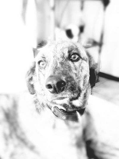 My little one, lookin' serious I Love My Dog Monochrome