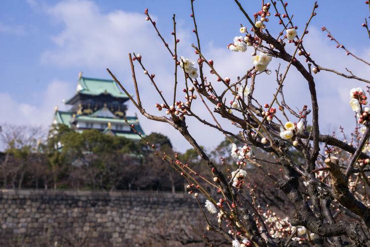 梅咲き出す 大阪城梅林 Osaka Castle OSAKA Japan Tree Flower Branch Business Finance And Industry Winter Sky Close-up Growing Cherry Tree Blossom