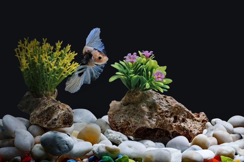 Fighting fish, Siamese fish, in a fish tank decorated with pebbles and trees, Black background. Beautiful Beautiful Fish In The Cabinet Betta Fish, Fighting Fish Betta Fish Tail Nature Rock Swimming With The Fish Thai Fish Aflutter Aggressive Animal Aquarium Clean Colorful Decoration Fighting Fish Face Fish Farming Fish Fins Fish Tank Decoration Freshwater Fish Gravel Motion Siamese Fish