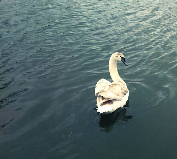 Springtime Urban Spring Fever me and my Feathers Lookatme almost Grownup Swan Swan Lake Bird Photography Water Light And Shadow Nature_collection Spring Waterscape Sound Of Life Serenity Calming Views Clearmymind