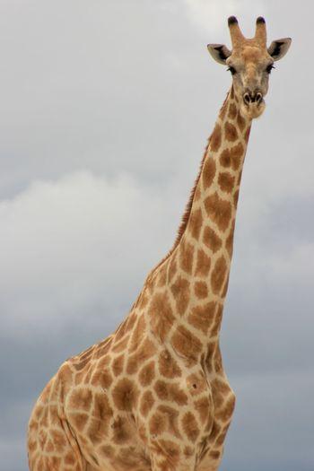 Landscape portrait of wild angolan giraffe giraffa camelopardalis angolensis up close, namibia.