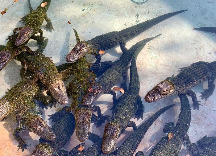 Alligator Animal Themes Water High Angle View Animals In The Wild Animal Animal Wildlife Nature Group Of Animals Outdoors Sea Life Sunlight Marine Land No People Day The Traveler - 2019 EyeEm Awards