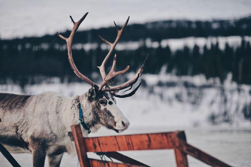 Close-up of deer in winter
