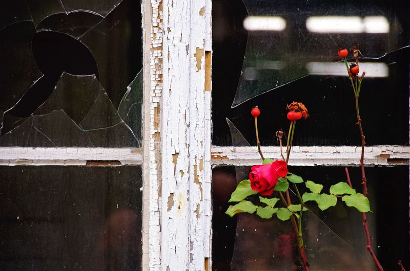 Close-up of red flowering plant by window