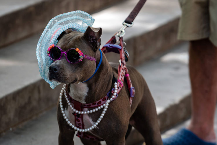 View of dog wearing sunglasses